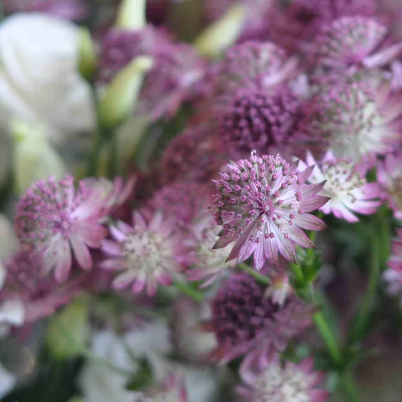 Amanda Austin London Florist Astrantia