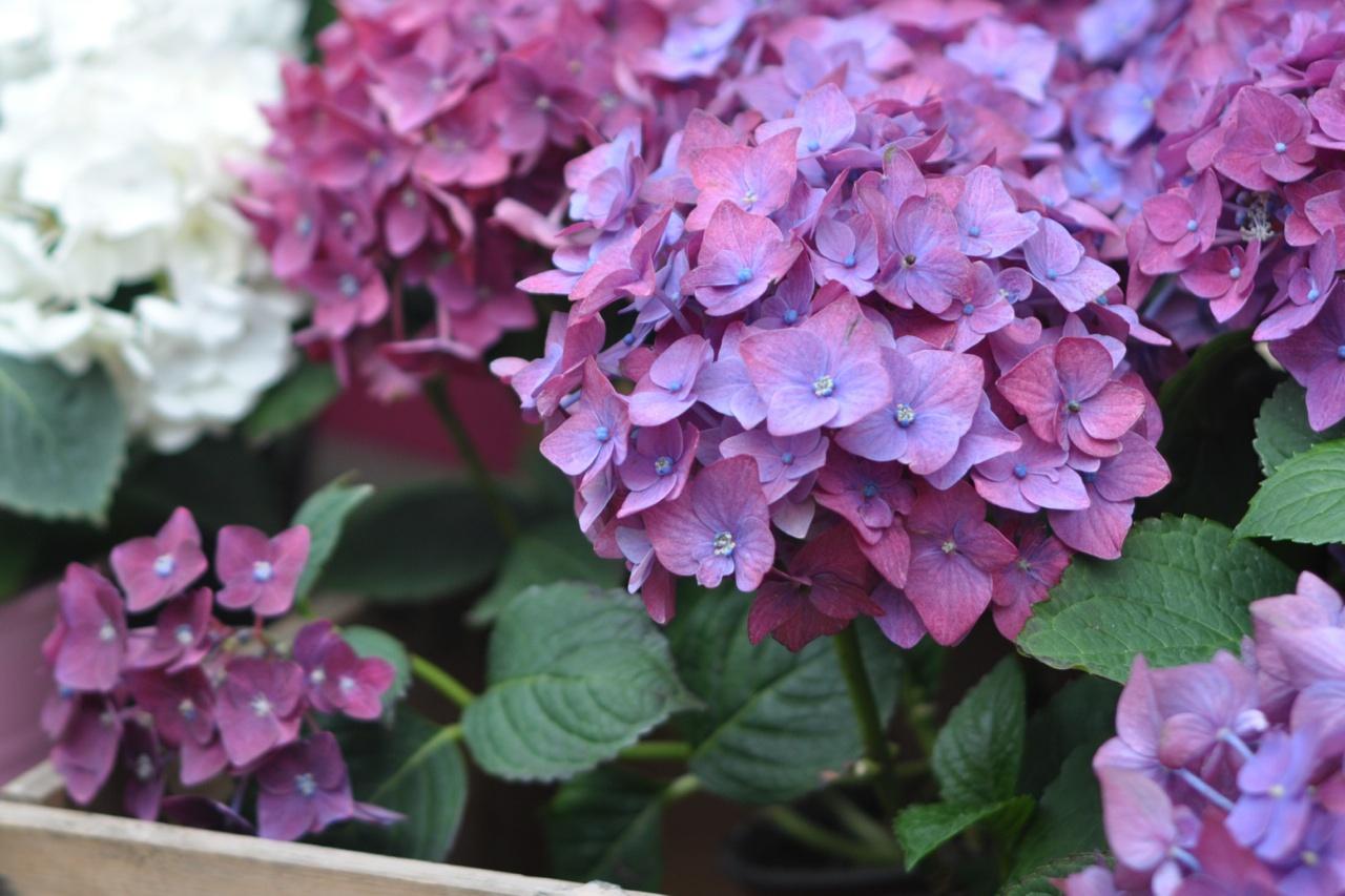 Chelsea London Florist Planted Hydrangea Amanda Austin