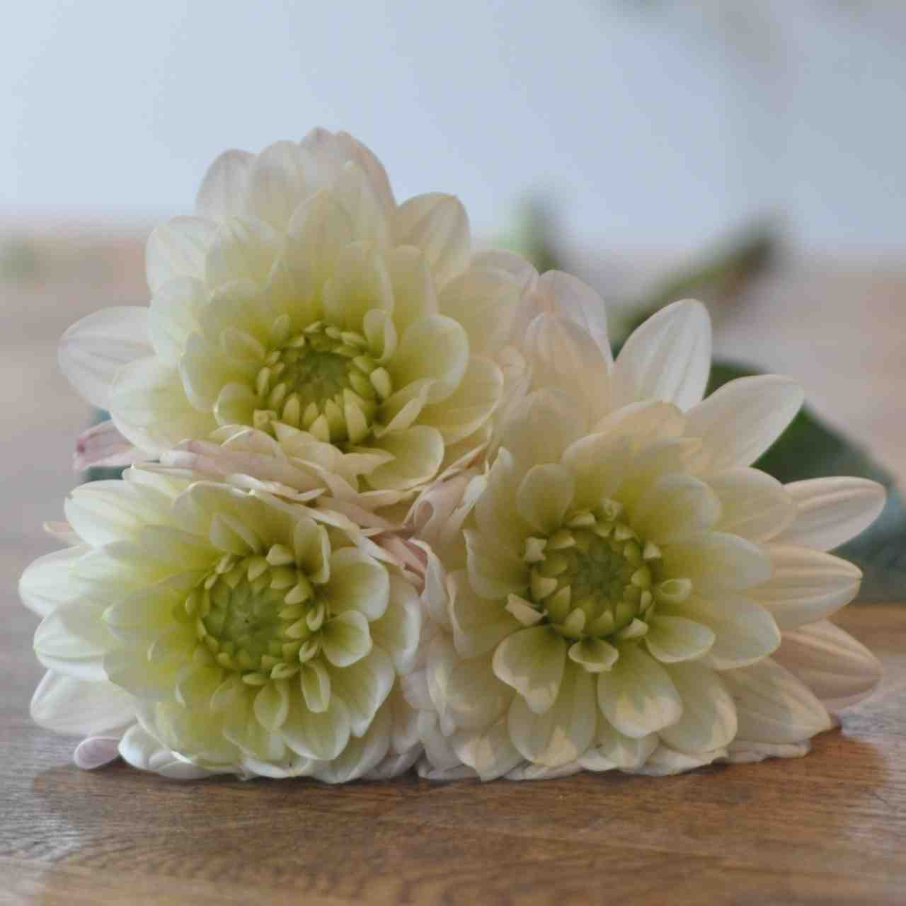 Amanda Austin London Florist Seasonal Flowers English Pale Pink Dahlia