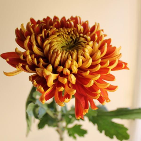 Amanda Austin London Florist Seasonal Flowers Tom Pearce Chrysanthemum