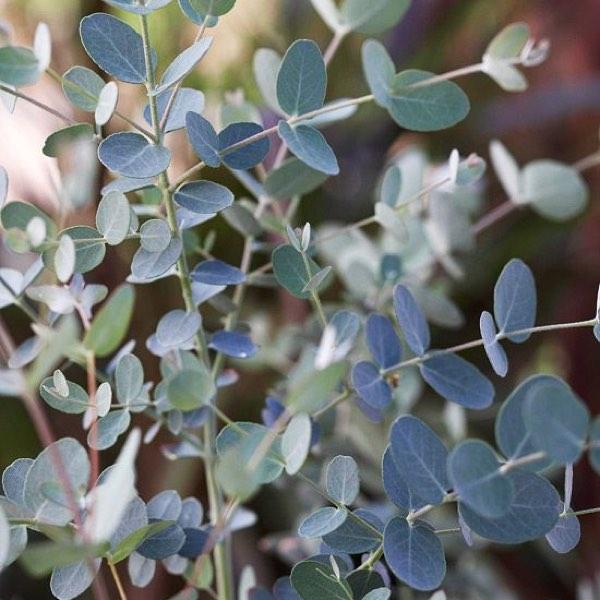 Amanda Austin Flowers Foliage Eucalyptus