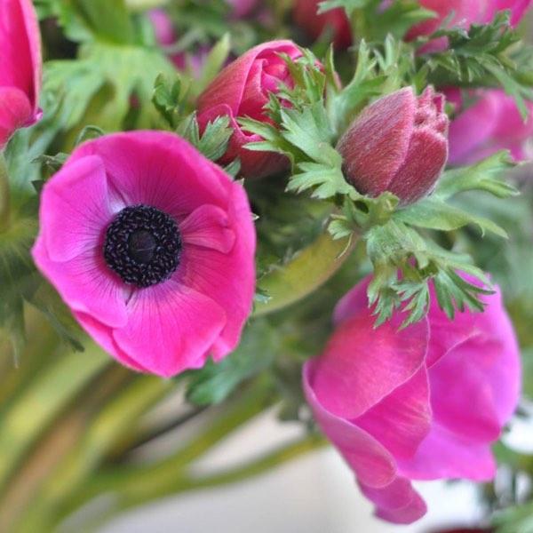 Amanda Austin Flowers Pink Anemones