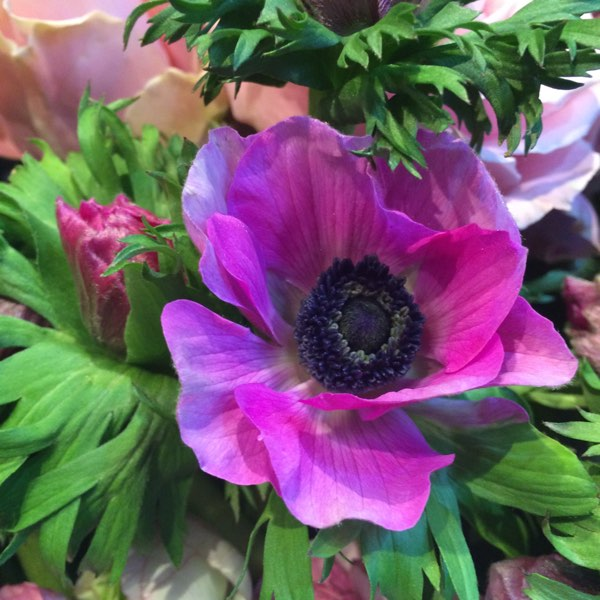 Amanda Austin Flowers Purple Anemone